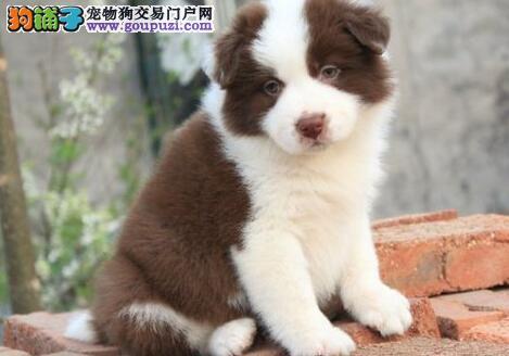 南京出售 边境牧羊犬-智商在狗类中排行第一可上门挑选
