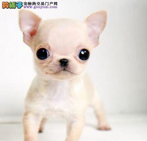 超可爱的吉娃娃低价出售.爱狗的朋友进来看看