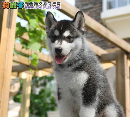 北京哈士奇犬舍,出售韩国引进幼犬!