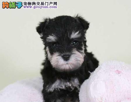 北京售极品雪纳瑞幼犬小雪公狗疫苗驱虫已做
