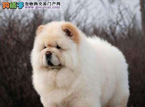 包头实体狗场出售大毛量面包嘴的松狮犬 放心选购