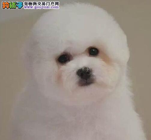 甜美脸型活泼可爱的比熊犬热销中 仅限包头的朋友选购