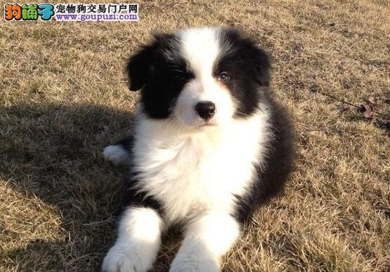天津专业繁育出售精品边境牧羊犬幼犬血统纯正欢迎选购