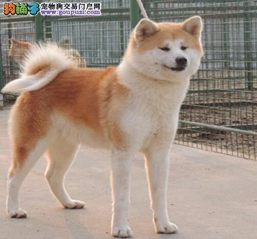 多种颜色的赛级秋田犬幼犬寻找主人CKU认证绝对信誉保障图片