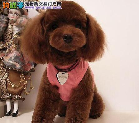 广州狗场直销 泰迪犬 贵宾犬 小型犬 包健康包活