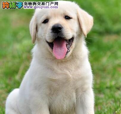 转让太原自家繁殖的拉布拉多犬 喜欢的朋友不要错过