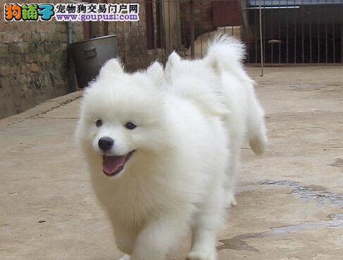 雪白色可爱温顺的萨摩幼犬乌鲁木齐找新家啦 价格优惠