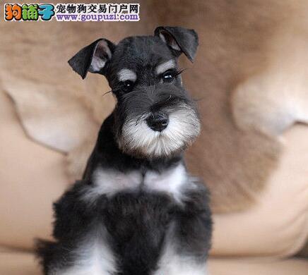 转让椒盐色深灰色的太原雪纳瑞幼犬 一分价钱一分货
