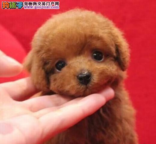 太原繁殖基地低价出售多种颜色的泰迪犬 终身售后服务