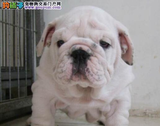 广州售英牛高品质英国斗牛犬幼犬
