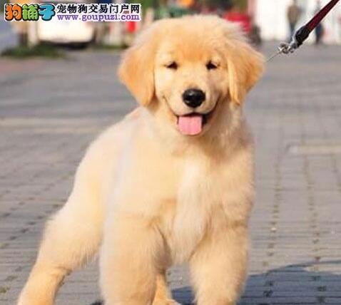 贵阳知名犬舍出售高品质金毛幼犬 带血统带证书带芯片