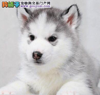 低价出售纯种哈士奇 幼犬