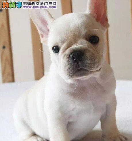 大型专业培育法国斗牛犬幼犬包健康签订三包合同