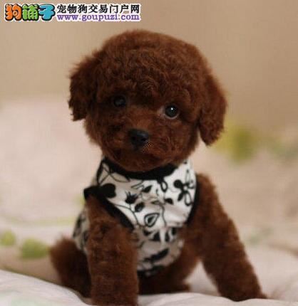 精品小体泰迪幼犬出售 签订协议包活包健康 多色可选