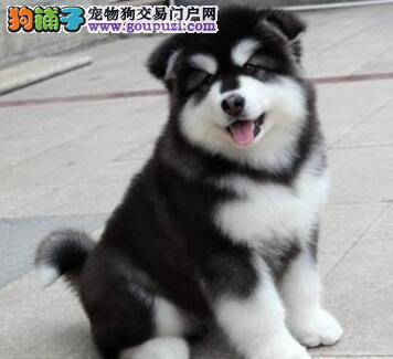 郑州双血统巨型阿拉斯加幼犬 罕见西伯利亚进口血统