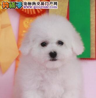 郑州出售 小体白毛甜脸 法国纯种比熊犬4