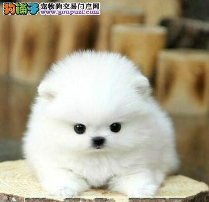 英系博美狐狸犬松鼠犬上海浦东新区出售