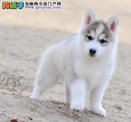 郑州CKU认证犬舍出售高品质哈士奇可以送货上门