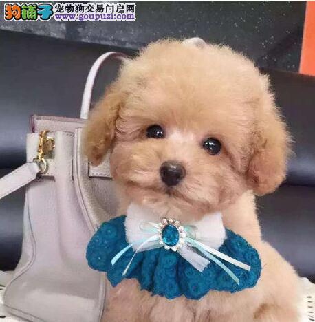 北京泰迪犬直销 茶杯泰迪迷你泰迪玩具泰迪泰迪犬舍4
