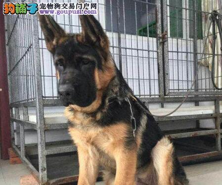 广东 特价中  德牧犬  可议价 看狗父母