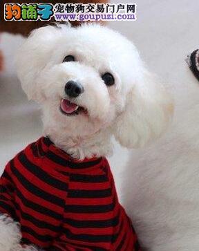 南京本地狗场出售韩系贵宾犬 保证国外引进血统纯度高
