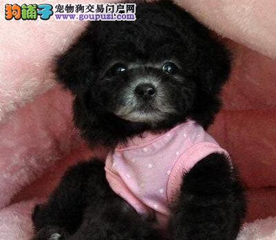 家养赛级泰迪犬宝宝品质纯正爱狗人士优先