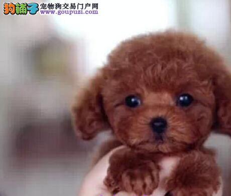 南宁繁殖基地专业缔造优质贵宾犬 签定质保协议书