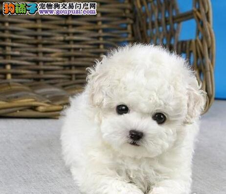 南宁正规犬舍出售疫苗驱虫泰迪犬 六颜色全公母均有