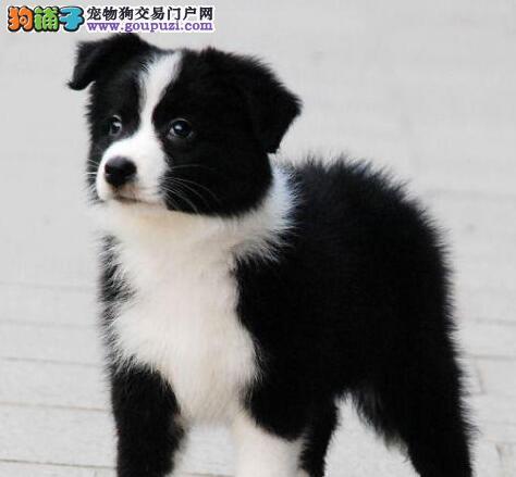 上海售高智商边牧保纯保健康签协议售后有保障
