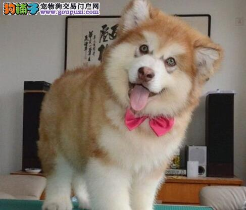 西宁培育中心出售十字脸阿拉斯加犬 可随时视频选择
