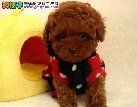 泰迪犬价格