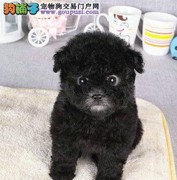 西安繁殖精品泰迪犬可视频挑选质量保证可签订健康协议