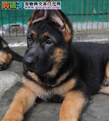 热销多只优秀的纯种德国牧羊犬幼犬办理血统证书