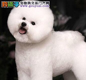 卷毛棉花糖版的广州比熊犬找爸爸妈妈 终身售后质保