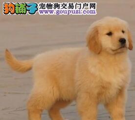 基地转让纯种金毛犬鄂尔多斯地区购犬可送货