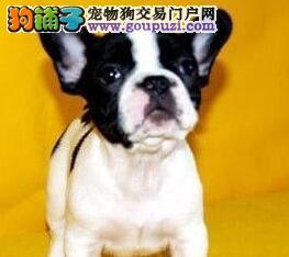 北京正规犬舍繁殖法国斗牛犬幼犬质量高纯血统价钱合理