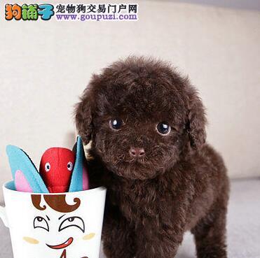 万宝犬业纯种泰迪熊比熊约克夏松狮幼犬出售