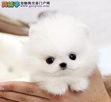 博尔塔拉售纯种球体博美幼犬哈多利系博美俊介松鼠犬