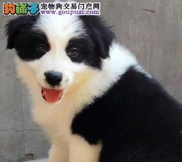 广州三通七白边牧聪明伶俐各颜色有边境牧羊犬价格不贵