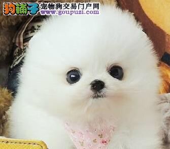 重庆巴南区出售纯种博美犬俊介犬狐狸犬松鼠犬可视频