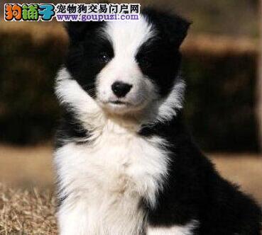 北京朝阳出售边牧幼犬可上门看狗 聪明会玩飞盘的边牧