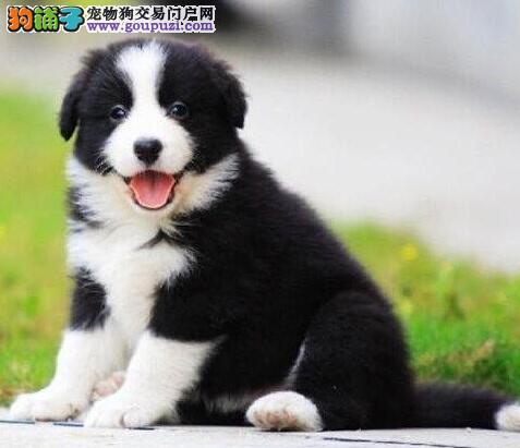怒江州纯种高品质边牧幼犬专业繁殖边境牧羊犬可送上门3
