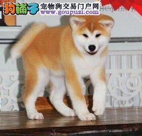 出售极品秋田犬 血统纯品相好健康有保证