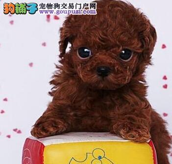 无锡狗场直销好品相的泰迪犬颜色多只可上门看狗
