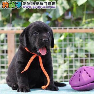 专业繁殖培育纯种拉布拉多犬 北京附近可送狗上门