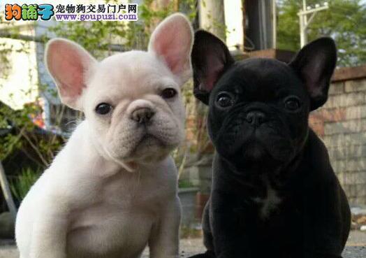 高贵血统法国斗牛犬免费送上门保纯种健康可签协议