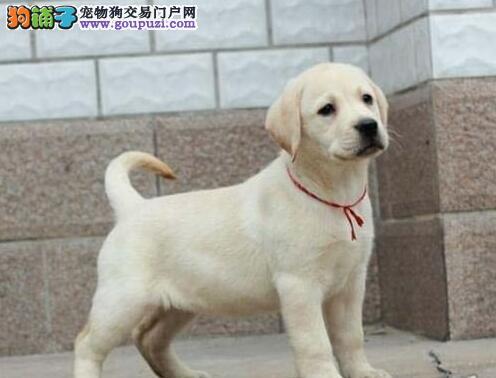 北京售纯种拉布拉多 拉拉幼犬公母全有可挑选