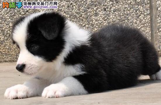 广州狗场出售完美品相的边境牧羊犬 喜欢就速来选购吧1