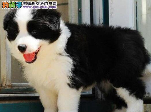 广州狗场出售完美品相的边境牧羊犬 喜欢就速来选购吧2