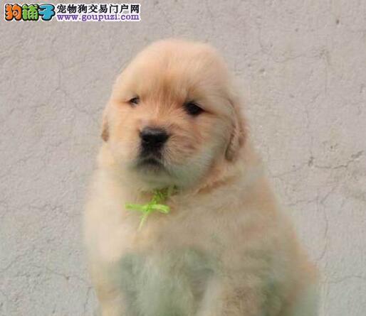 合肥极品金毛幼犬出售中 支持上门看狗 包纯种健康